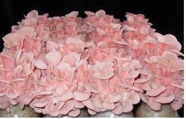 분홍느타리