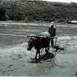소를 이용한 써레질