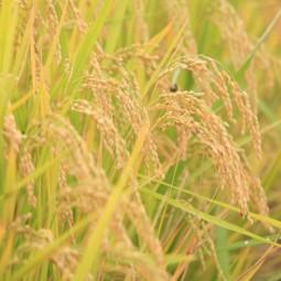 친환경 벼 재배