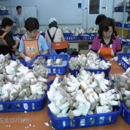 안성 머쉬하트에서 생산한 새송이버섯이 출하준비를 하고 있다.