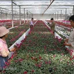 해외로 수출하는 시클라멘을 농민들이 라벨붙이는 작업을 하고있다.