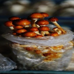 품질이 우수한 느타리버섯을 포장하고 있다.