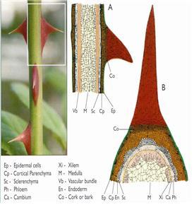 그림 1. 장미 가시의 종단면(A)과 횡단면(B). 표피세포(Ep)의 외부는 규티클층으로 덮혀있다(얇은 왁스층으로 덮혀있는 단단하고 얇은 막)