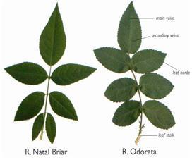 그림 2.  7개 소엽을 가진 장미 잎
