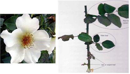 좌. 야생종 장미꽃 형태 우. 7매엽 소엽을 가진 장미 잎