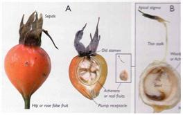 꼬투리의 단면(위과-A)와 수과(진과-B)