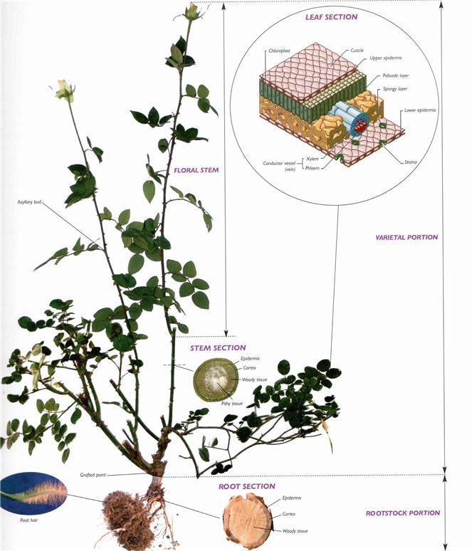 2년생 장미의 생물학적 명칭(화산석을 이용한 수경재배)