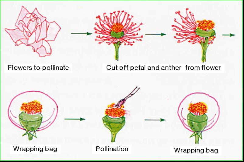 Process of artificial pollination in rose flower