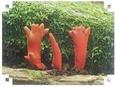 사슴뿔버섯