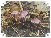 맑은대애주름버섯