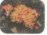 붉은싸리버섯(소화관자극독소)