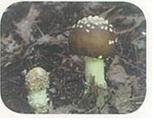 마귀광대버섯(Ibotenic acid muscimol)