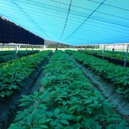 1. 인삼 광폭경사식해가림 재배(2017)