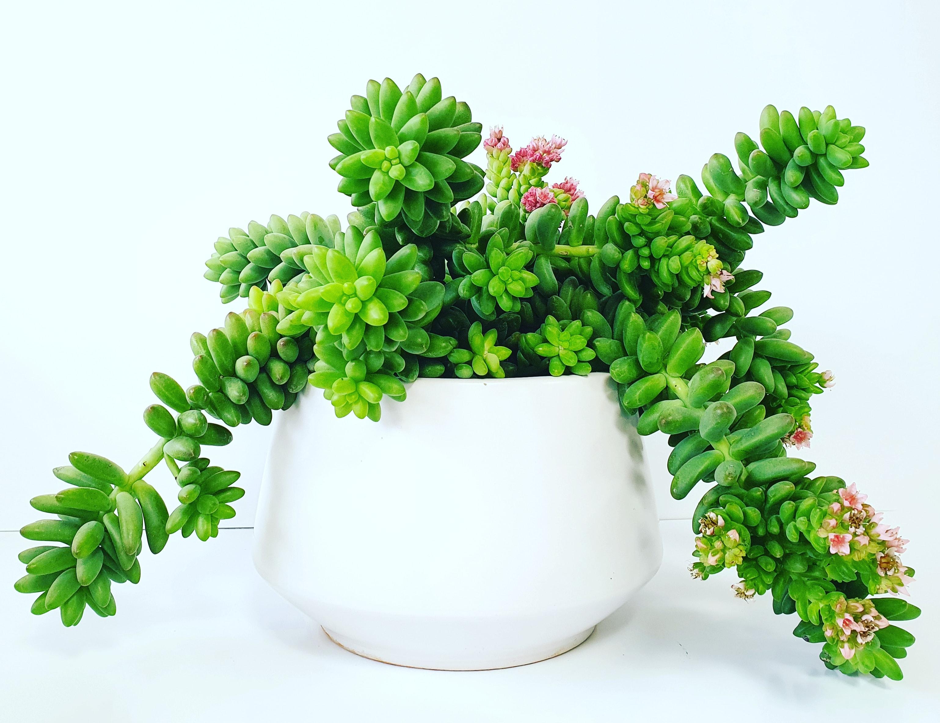 Green Pang