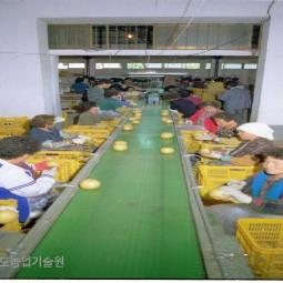 자동선별기로 선별된 배를 시장출하와 저장을 위해 여성농업인들이 배 꼭지를 따고 있다.