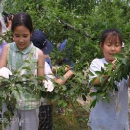 농업기술원 배시험포장에서 초청된 어린이들이 배 알솎기를 하고 있다.